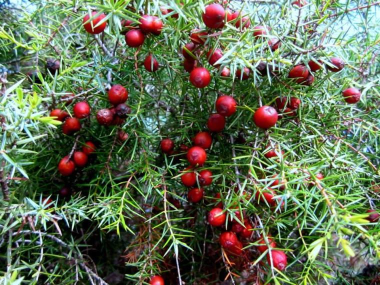 Juniperus oxycedrus - Enebro