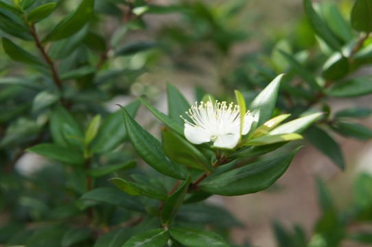 Flor de Murta