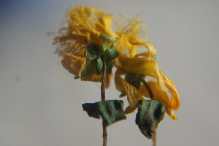 Flor seca de Hipérico Balear