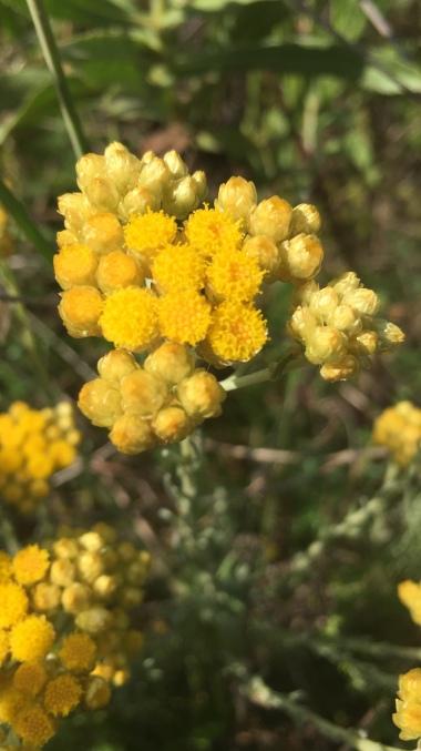 Helicriso silvestre en flor